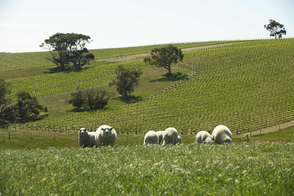 Sheep and Vines on Maylands Farm (photo Milton Wordley)