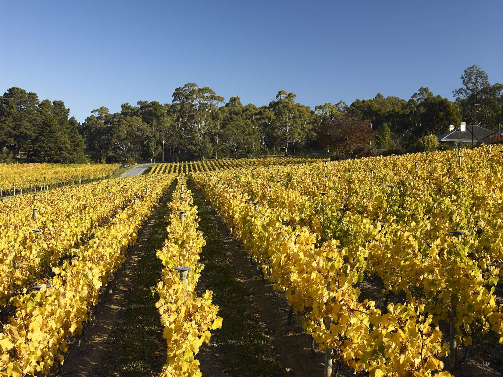 The Tiers Vineyard in autumn (photo Milton Wordley)