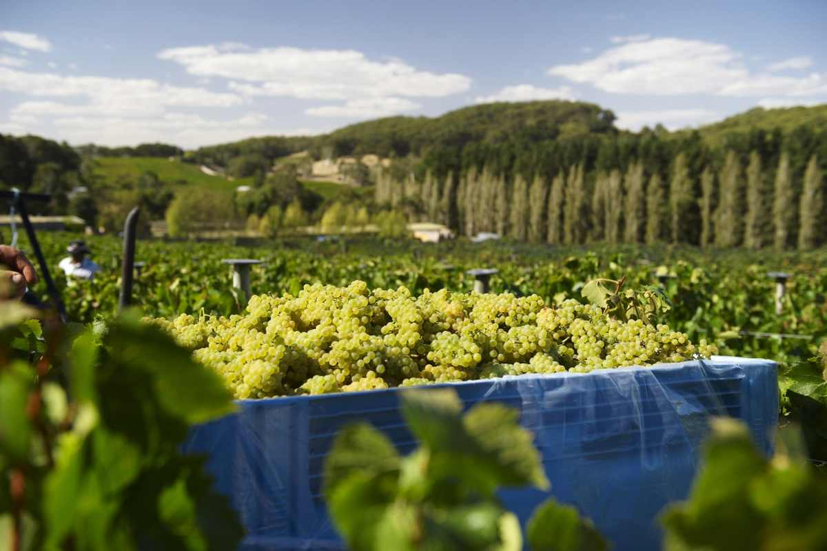 Harvesting Tiers Chardonnay (photo Milton Wordley)