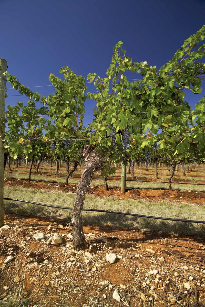 Merlot vine in Whalebone Vineyard (photo by Milton Wordley)
