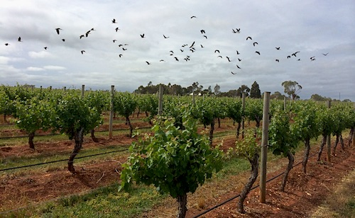 Ibises flying over Whalebone Vineyard